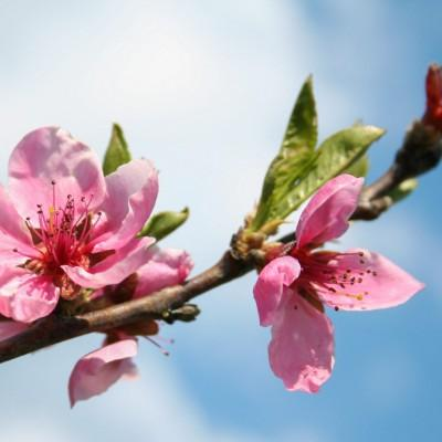 Ajda Okorn: Cvetovi breskve