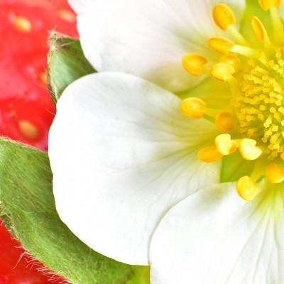 Mateja Kandolf Podkoritnik: Cvet jagode