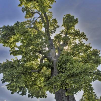 Branko Sebasu: Staro drevo